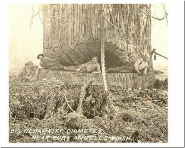 enormes árboles talados cosasdivertidas (30)