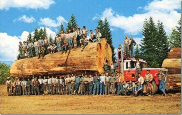 enormes árboles talados cosasdivertidas (35)