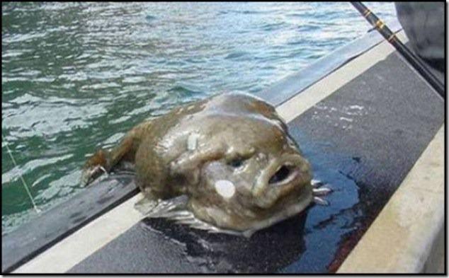 caras de pez casi humana migallinero (2)