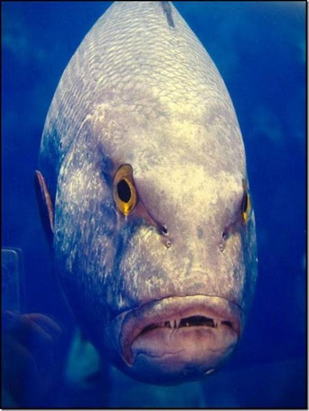 caras de pez casi humana migallinero (7)