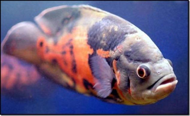 caras de pez casi humana migallinero (117)