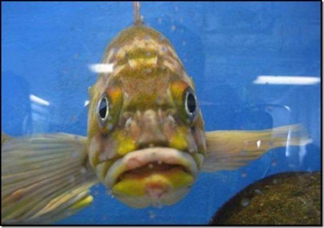 caras de pez casi humana migallinero (121)
