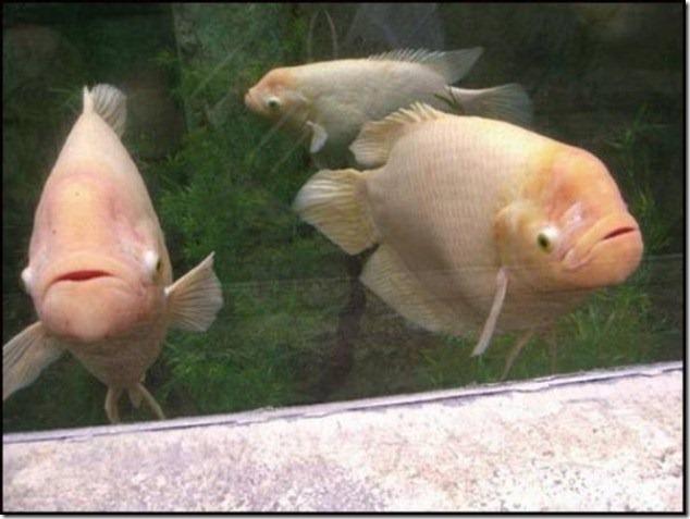 caras de pez casi humana migallinero (128)