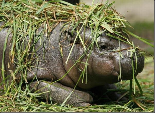 Hipopotamo pigmeu recem nascido (12)