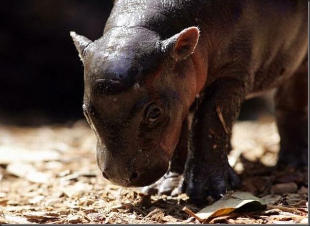 Hipopotamo pigmeu recem nascido (8)