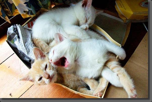 Fotos de gatinhos fofos bocejando (16)
