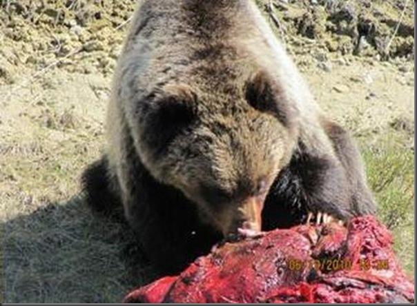 Jantar romantico entre ursos (27)