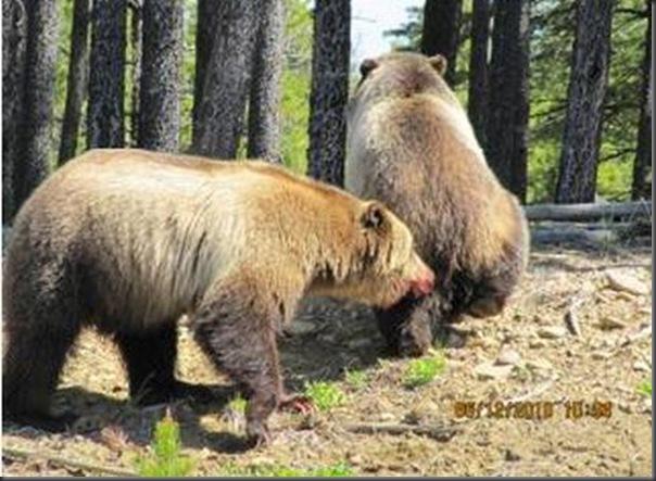 Jantar romantico entre ursos (32)