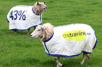In England sheep use as walking advertising