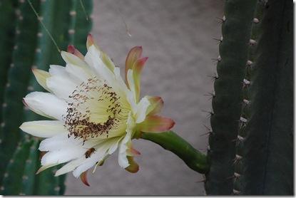 Cereus.09.07.09