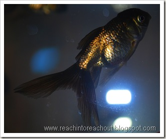Gold+fishes1