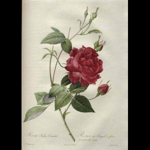 Rosa Decidua Cover