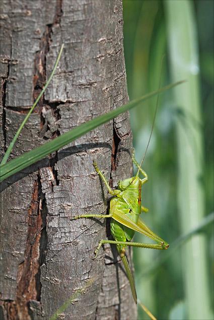 juvénile femelle sauterelle verte