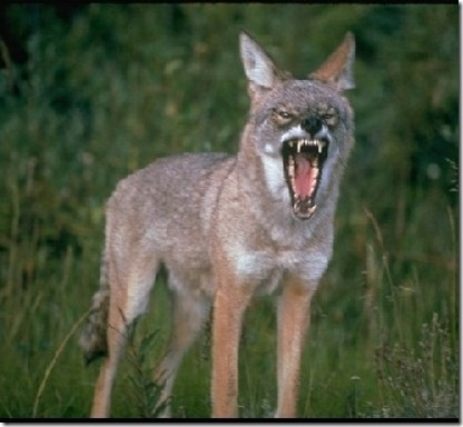 hunting-coyotes-using-dogs-01