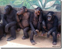 Juvenile orphan chimpanzees at the Tchimpounga Sanctuary in Republic of Congo.
