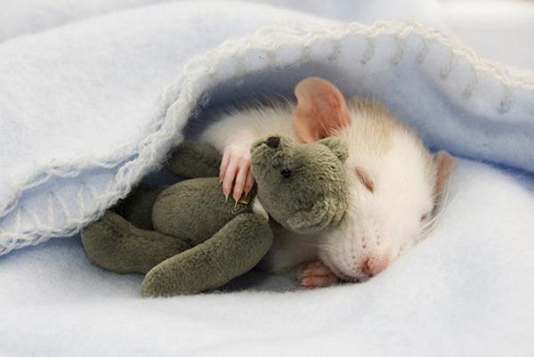 rat-cuddling-teddy