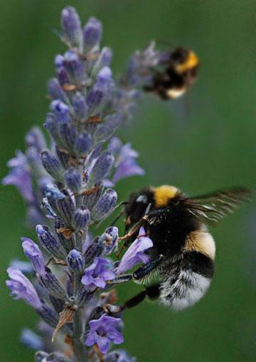 Bees. Photo: Horacio Iannella