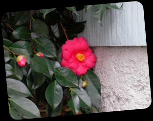 camellia2front