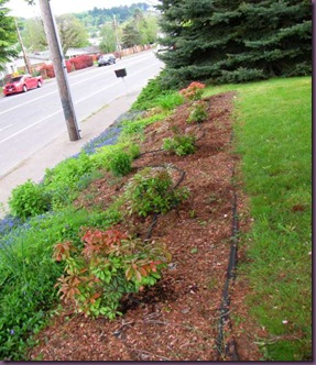 replacedshrubs2