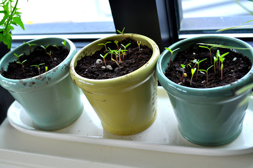 seedlings growing