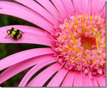 ladybugyellow