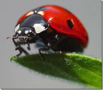 ladybugred