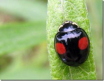 ladybugblack