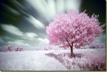 arbol-rosa