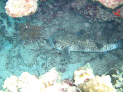 A box fish we spotted hiding in the coral near the shore