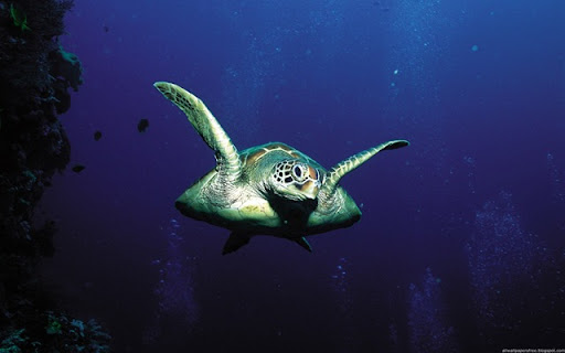 wallpaper sea. Sea wallpapers - Sea Turtle is