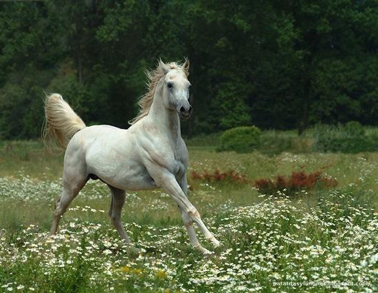2 -Arabian horse by Wojtek Kwiatkowski9