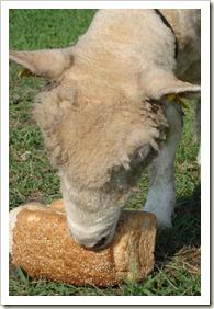 nieuwe schapen 009