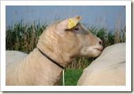 nieuwe schapen 008