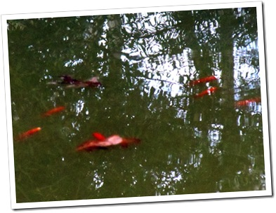 gold fish on the pond