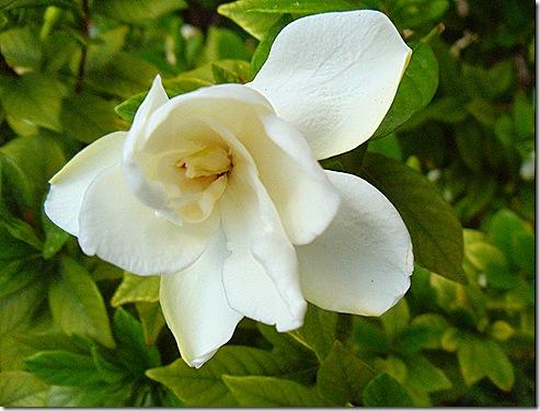 a gardenia