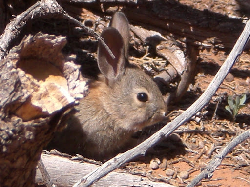 Cottontail rabbit at Kodachrome