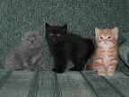 Кошки Шостка