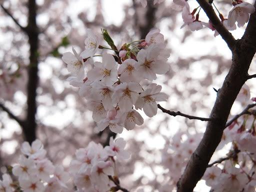 [写真]清澄公園の桜