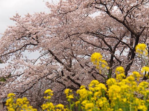 [写真]相模女子大の百年桜