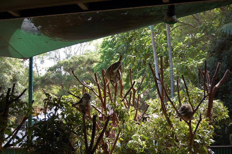 カランビン・ワイルドサンクチュアリのコアラの写真