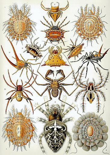 Рисунок Эрнста Геккеля - Паукообразные (Arachnida)