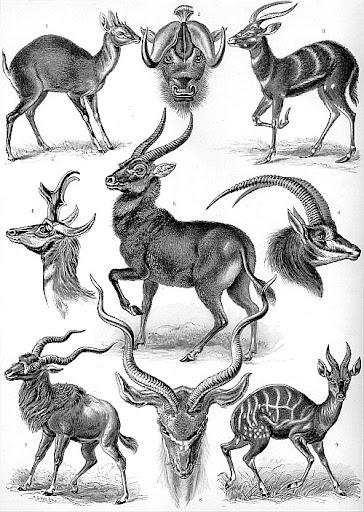 Рисунок Эрнста Геккеля - Антилопы (Antilopina)