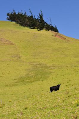 Black cow, verdant hillside, windbent trees - Waimea, Big Island, Hawaii