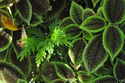 "Moon Valley  ""Pilea mollis"" photo by Lisa Callagher Onizuka"