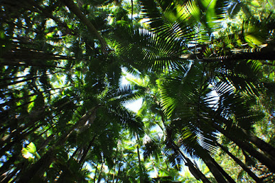 Palm forest canopy (Hawaii Tropical Botanical Garden near Hilo - htbg.com) photo by Raymond Chambers.