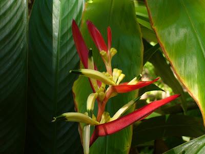 Heliconia - Tropical flower photo by Raymond Chambers (Hawaii Tropical Botanical Garden near Hilo - htbg.com)