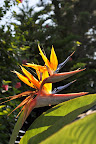 Sunlit Bird of Paradise Flower (Strelitzia reginae) photo by Raymond Chambers.