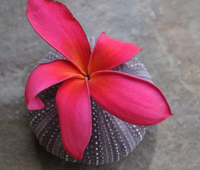 Fragrant pink Plumeria and sea urchin shell. Photo/arrangement by Lisa Callagher Onizuka