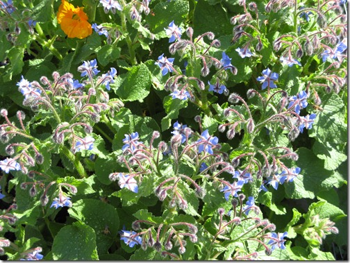 Speckled Borage