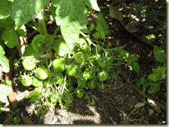 More Tomatoes 029
